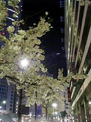 a42-cherryblossoms-at-night.jpg